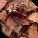 aussie-cockroach