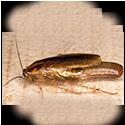 german-roach