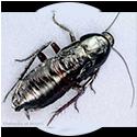 oriental-roach