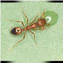 pharoh-ant