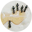 white-foot-ant